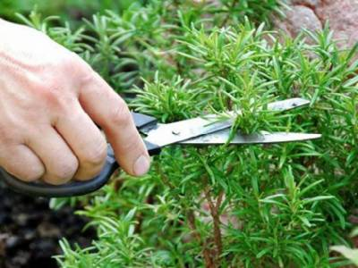 آپ کے گھر کے باغ میں موجود وہ پودا جو باآسانی آپ کے بالوں کو گرنے سے روک سکتا ہے اور انہیں پھر سے گھنا بناسکتا ہے
