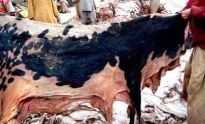 لاہور میں قربانی کی کھالیں جمع کرنے میں دعوت اسلامی بازی لے گئی