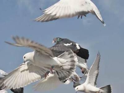 بھارتی گاﺅں کے رہائشی نے سرحد پار سے آنے والا کبوتر پکڑ لیا:بھارتی میڈیا
