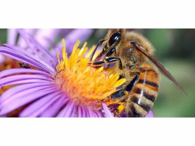 شہد کی مکھی کاٹ جائے تو ان قدرتی طریقوں پر عمل کرکے آپ کی زندگی آسان ہوجائے گی