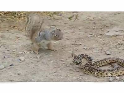 گلہری اور سانپ کی لڑائی ، فتح کس کی ہوئی، دیکھ کرآپ حیران رہ جائیں گے