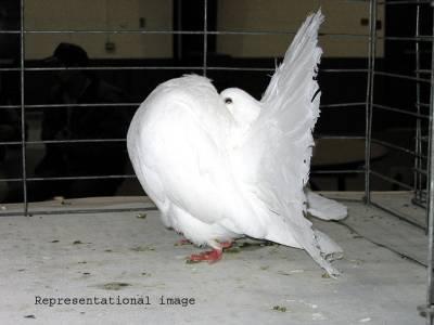 پانچ لاکھ کا نایاب کبوتر چوری