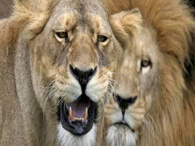جنوبی افریقہ میں روایتی ادویات کی تیاری کے لئے 3 شیروں کو ٹکڑے ٹکڑے کر دیا گیا