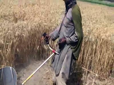 زیریں سندھ میں گندم کی کٹائی کا آغاز ہوگیا