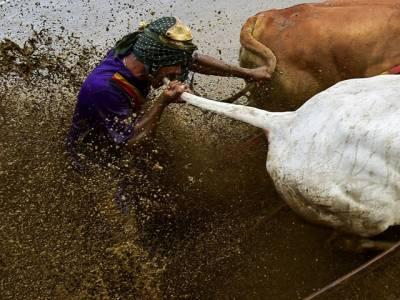 یہ کسان اپنی گائے کی دم پر اس طرح دانتوں سے کیوں کاٹ رہا ہے؟ حقیقت جان کر آپ بھی حیران پریشان رہ جائیں گے