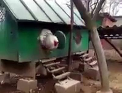 """""""اف میرا خدا اتنا بڑا۔۔۔ """" انٹرنیٹ پر ایک ایسے پرندے کی ویڈیو جاری ہو گئی جس کا گوشت آپ روزانہ کھاتے ہیں، یہ کون سا جانور ہے اور کتنا بڑا ہے؟ آپ اندازہ بھی نہیں لگا سکتے، سوشل میڈیا پر نیا طوفان آ گیا"""