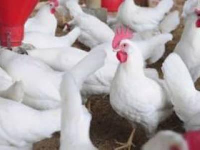 بیگم کوٹ میں دکان سے 5 ہزار مردہ مرغیوں کا گوشت پکڑا گیا