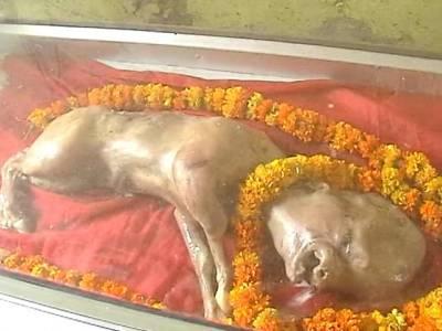 گائے کا جسم، انسان کی شکل۔۔۔ بھارت میں ایسے جانور کی پیدائش کہ لوگ ہزاروں میل سفر طے کرکے دیکھنے آنے لگے ، پوجا بھی شروع ہوگئی