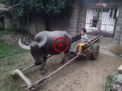کیا زبردست ٹرینگ دی ہے اس جانور کو۔آپ بھی دیکھیں۔ ویڈیو: میاں یوسف۔ لاہور