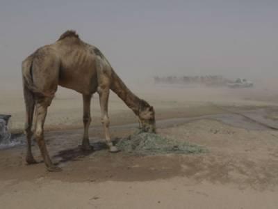 لڑائی قطر اور سعودی عرب کی، نقصان اونٹ برداشت کررہے ہیں، قطر سے اونٹوں کے متعلق تشویشناک خبر آگئی