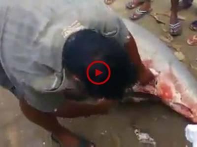 جب ایک ماہی گیر نے شارک مچھلی کا شکار کرنے کے بعد اس کا پیٹ چاک کیا تو دیکھیں اس مچھلی کے پیٹ سے کیا نکلا۔ ویڈیو: حسن فاروق۔ لاہور