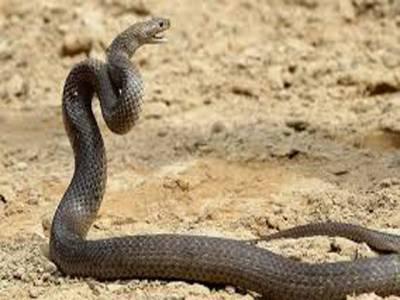 بارشوں کے بعد سانپوں کا راج، ایک ہفتے کے دوران 29 افراد کو ڈس لیا