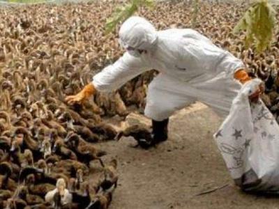 فلپائن میں برڈ فلو، چار لاکھ پرندے تلف کیے جائیں گے