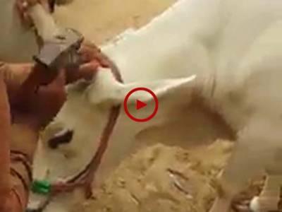 خبردار ہوشیار!قربانی کا جانور لینے جائیں تو دیکھ بھال کر لیں۔ ویڈیو میں دیکھیں کس طرح قربانی کے جانوروں کے ٹوٹے ہوئے سینگوں کو ٹھیک کیا جا رہا ہے۔ ویڈیو: محمد حمزہ۔ کراچی