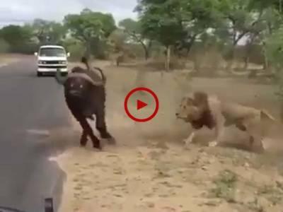 ویڈیو میں دیکھیں شیر نے اپنے شکار کو ایسا دبوچا کہ پھر وہ اپنی جان نہ بچا پایا۔ ویڈیو: جمیل احمد۔ اوکاڑہ