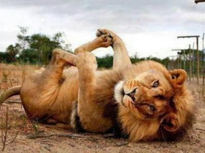 """""""شیر شیر نہ رہا""""دہشت اور بہادری کی علامت بننے والا یہ درندہ '' بندر '' کی طرح ناچنے پر کیوں مجبور ہوجاتا ہے ؟ ایسی تفصیلات کہ آپ بھی مسکرانے پر مجبور ہو جائیں گے"""