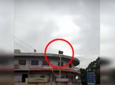 """""""قربانی کی گائے نے تیسری منزل سے چھلانگ لگا دی اور پھر۔۔۔"""" عید قربان کے قریب آتے ہی دل دہلا دینے والی ویڈیو منظرعام پر آ گئی، دیکھ کر آپ بھی خوف سے اپنی آنکھیں بند کر لیں گے"""