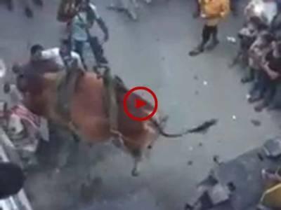 لاہور میں گھر کی چھت پر قربانی کیلئے پالے گئے بچھڑے کو کرین کے زریعے زمین پر اتارنے کی ویڈیو دیکھیں۔ ویڈیو: جمشید خان۔ لاہور