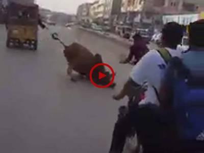 کراچی میں قربانی کے بیل نے لوگوں کی سڑک پر کیسے دوڑیں لگوائیں آپ بھی دیکھ لیں۔ ویڈیو: فیصل علی۔ کراچی
