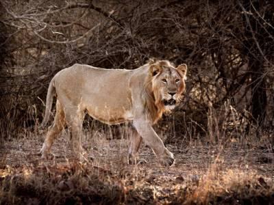 بھارتی وزیر اعظم نریندرا مودی کی آبائی راجدھانی میں ''شیروں'' کا ''اندر گھس '' کر حملہ ،ایسا غیر معمولی کام کر دیا کہ ہر کوئی سہم گیا