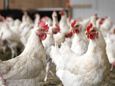 اگر آپ مرغی صحیح طریقے سے نہیں پکاتے تو آپ کو یہ خطرناک ترین بیماری ہوسکتی ہے، سائنسدانوں نے خبردار کردیا