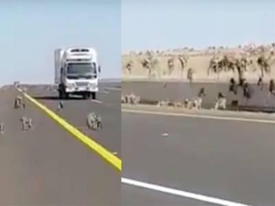 سعودی عرب کی مصروف ترین ہائی وے پر ہزاروں بندر نکل آئے