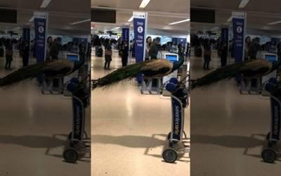 یہ ائیرپورٹ پر خاتون مسافر اپنے سامان کے ساتھ مور کیوں لے کر پھر رہی ہے؟ وجہ ایسی کہ آپ سوچ بھی نہیں سکتے