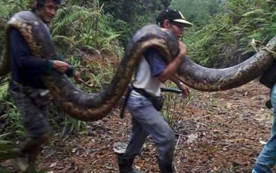 گاﺅں والوں نے 20 فٹ لمبا سانپ پکڑلیا، لیکن پھر اس کے ساتھ کیا کیا؟ سانپ کے ساتھ ایسی حرکت کرتے آپ نے کبھی کسی کو نہ دیکھا ہوگا