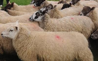 تاریخ میں پہلی مرتبہ سائنسدانوں نے انسان اور بھیڑ کو ملا کر ایسا جاندار بنا ڈالا کہ تفصیلات جان کر آپ کے بھی ہوش اُڑ جائیں گے