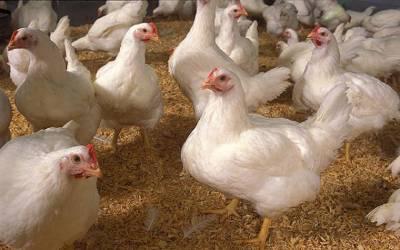 مرغیوں کے گوشت میں کوئی مسئلہ نہیں ، سپریم کورٹ میں رپورٹ پیش