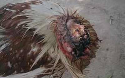 مرغے کا سر کٹ گیا لیکن پھر بھی زندہ، ڈاکٹر نے عجیب و غریب مرغے کو گود لے لیا کیونکہ۔۔۔