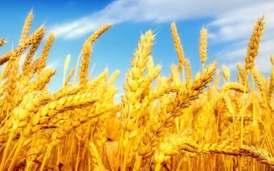 گندم قیمت 1275روپے من برقرار آٹے کا20کلو تھیلا 750پر آگیا