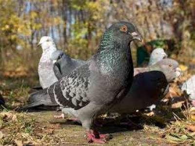 """"""" میں کئی دن تک کبوتروں کو دانہ نے کھلاسکاتو ایک روز دیکھا کہ ...."""" جب انسان یہ کام کرنا چھوڑ دے تو قدرت اسکی خواب میں کیسے رہ نمائی کرتی ہے،آپ بھی جانئے"""