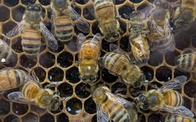 'شہد کی مکھیوں میں یہ تبدیلی آگئی ہے کہ اب وہ۔۔۔' تازہ تحقیق میں سائنسدانوں نے انتہائی حیران کن انکشاف کردیا