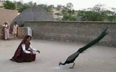 تھر کا حسن مور ایک مرتبہ پھر مرنا شروع، محکمہ وائلڈ لائف رانی کھیت پر قابو پانے میں ناکام ہوگیا
