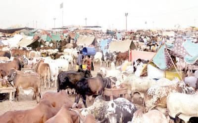 مویشی منڈی میں جانوروں کی قلت، بیوپاریوں نے قیمتیں بڑھا دی