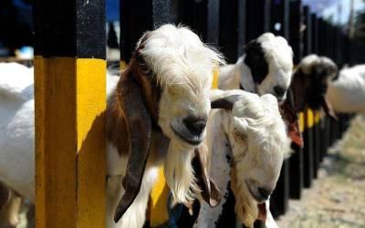 پاکستان میں اس مرتبہ عید پر کتنے جانور قربان کیے جائیں گے اور اس کا تخمینہ کتنا ہے ؟تفصیلات سامنے آ ٓگئیں