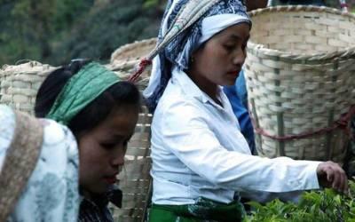 چاندنی راتوں میں چنی جانیوالی چائے کی قیمت 18ہزارروپے کلو