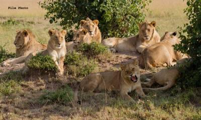 نیپال میں شیروں کی آبادی میں 63 فیصد اضافہ