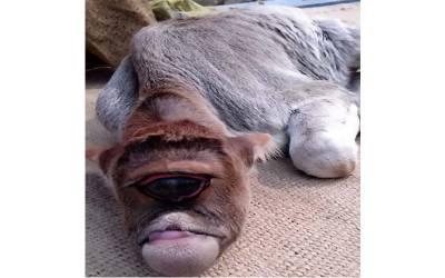 بھارت میں عجیب الخلقت بچھڑے کی پوجا شروع کردی گئی،لیکن درحقیقت یہ کس بیماری کا شکار ہے؟ ماہرین نے بتادیا