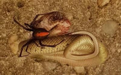 انتہائی زہریلے سانپ اور مکڑے کے درمیان لڑائی، کون جیتا؟ سب حیران رہ گئے