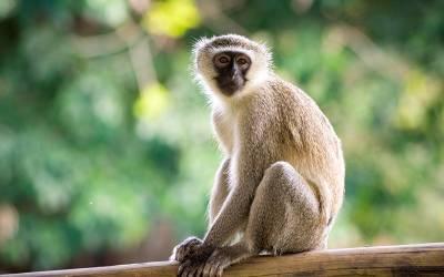 چینی سائنسدانوں نے بندروں کے دماغ میں انسانی جینز داخل کردی، نتیجہ کیا نکلا؟ آپ بھی جانئے