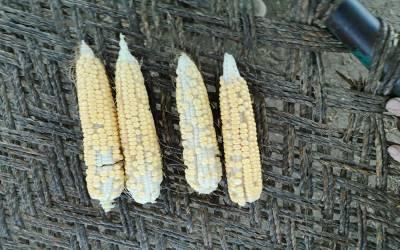 شدید گرمی نے فصلوں کو بھی متاثر کرنا شروع کردیا، ایک کسان کی شیئر کی گئی تصاویر دیکھ کر آپ کو بھی افسوس ہوگا