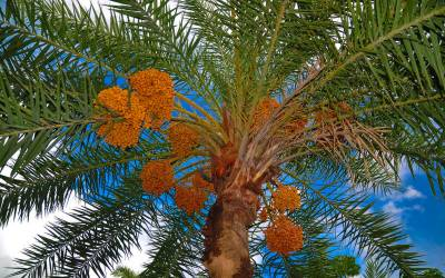 سعودی عرب میں ایک سال کے دوران ایک کروڑ 43 لاکھ ٹن کھجورحاصل لیکن کھجور کے درخت کتنے ہیں؟اعدادوشمار سامنے آگئے