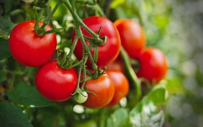 جنسی تسکین کے لئے استعمال ہونے والے کھلونے کے ذریعے ٹماٹر اُگانے کا انوکھا تجربہ