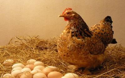 پہلے مرغی آئی یا انڈا؟ سائنسدانوں نے حیران کن جواب دے دیا