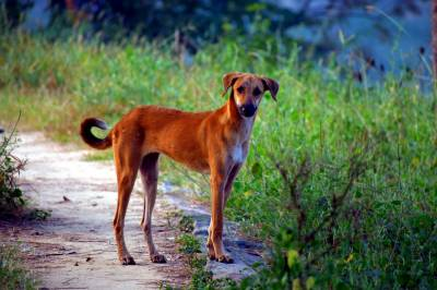 کندھ کوٹ:کتوں کے حملے میں بارہ افراد زخمی