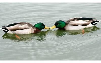 جانوروں میں ہم جنس پرستی پر انتہائی دلچسپ تحقیق