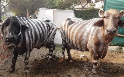 پاکستانی کسان نے اپنی بھینسوں پر زیبرا جیسا پینٹ کر دیا، فائدہ جان کر ہر پاکستانی یہی کرے
