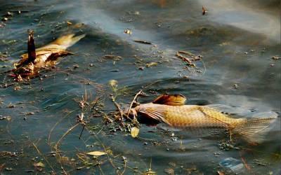 سکھر،بیراج سے نکلنے والی رائس کینال میں زہر ڈال دیاگیا،ہزاروں مچھلیاں ہلاک